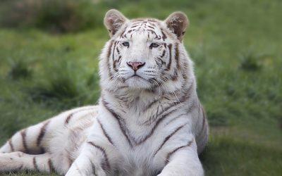 Le tigre, un atout pour le Népal (août 2018)